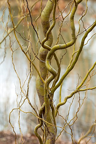 RHS_GARDEN_WISLEY_SURREY_CLOSE_UP_PLANT_PORTRAIT_OF_TWISTED_STEMS_BRANCHES_OF_SALIX_VANSTONES_GOLD_W