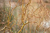 RHS GARDEN, WISLEY, SURREY: CLOSE UP PLANT PORTRAIT OF TWISTED STEMS, BRANCHES OF SALIX X SEPULCRALIS ERYTHROFLEXUOSA. WILLOW, BARK,, WINTER, MARCH