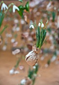RHS LONDON EARLY SPRING PLANT SHOW, LINDLEY HALL: FEBRUARY. PAPER WRAPPED GALANTHUS NIVALIS, SNOWDROPS, SUSPENDED WITH DESSICATED OAK LEAVES, CONES AND SEED HEADS . HANGING DISPLAY
