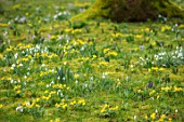 ABLINGTON MANOR, GLOUCESTERSHIRE: ACONITES, SNOWDROPS, CROCUS TOMASINIANUS IN MOSS. EARLY SPRING, LATE WINTER, FEBRUARY, BULBS, FLOWERS, YELLOW, PURPLE
