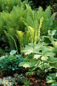 FERNS IN SHADE: MATTEUCCIA STRUTHIOPTERIS WITH RODGERSIA PODOPHYLLA AND HYBRID LYSICHITON