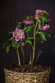 TWELVE NUNNS, LINCOLNSHIRE:  STILL LIFE OF CONTAINER WITH HELLEBORUS HARVINGTON DOUBLE PINK SPECKLED , SELECTED FOR OUTWARD FACING FLOWERS, FLOWERING, PERENNIALS