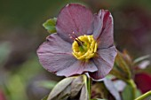 TWELVE NUNNS, LINCOLNSHIRE:  CLOSE UP OF FLOWER OF HELLEBORUS ORIENTALIS HYBRIDS HARVINGTON SINGLE SMOKEY BLUE, FLOWERS, FLOWERING, PERENNIALS