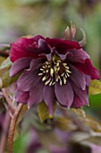 TWELVE NUNNS, LINCOLNSHIRE:  CLOSE UP OF FLOWER OF HELLEBORUS ORIENTALIS HYBRIDS HARVINGTON DOUBLE PURPLE CASCADE, FLOWERS, FLOWERING, PERENNIALS