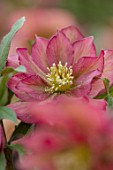 TWELVE NUNNS, LINCOLNSHIRE:  CLOSE UP OF FLOWER OF HELLEBORUS ORIENTALIS HYBRIDS HARVINGTON DOUBLE RED APRICOT, FLOWERS, FLOWERING, PERENNIALS