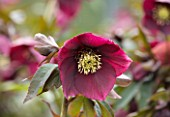 TWELVE NUNNS, LINCOLNSHIRE:  CLOSE UP OF FLOWER OF HELLEBORUS ORIENTALIS HYBRIDS HARVINGTON SINGLE RED, FLOWERS, FLOWERING, PERENNIALS