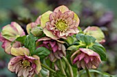TWELVE NUNNS, LINCOLNSHIRE:  CLOSE UP OF FLOWER OF HELLEBORUS ORIENTALIS HYBRIDS HARVINGTON DOUBLE YELLOW ON PICOTEE, FLOWERS, FLOWERING, PERENNIALS