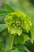 TWELVE NUNNS, LINCOLNSHIRE:  CLOSE UP OF FLOWER OF HELLEBORUS ORIENTALIS HYBRIDS HARVINGTON DOUBLE LIME, FLOWERS, FLOWERING, PERENNIALS