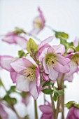 TWELVE NUNNS, LINCOLNSHIRE:  CLOSE UP OF FLOWER OF HELLEBORUS ORIENTALIS HYBRIDS HARVINGTON REBEKAH, FLOWERS, FLOWERING, PERENNIALS, PINK, PALE