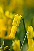 TWELVE NUNNS, LINCOLNSHIRE: CLOSE UP OF DAFFODIL - NARCISSUS CYCLAMINEUS. YELLOW, BULBS, FLOWERS, SPRING, FLOWERING