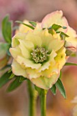 HERTFORDSHIRE HELLEBORES, LORNA JONES: HELLEBORUS HYBRIDUS YELLOW DOUBLE WITH PINK EDGES, PERENNIALS, FLOWERS, FLOWERING, WINTER, SPRING, PETALS, BLOOMS, ANTHERS, LENTEN ROSE