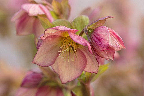 HERTFORDSHIRE_HELLEBORES_LORNA_JONES_HELLEBORUS_HYBRIDUS_PINK_PERENNIALS_FLOWERS_FLOWERING_WINTER_SP