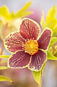 HERTFORDSHIRE HELLEBORES, LORNA JONES: HELLEBORUS HYBRIDUS YELLOW AND RED SPOTTED, PERENNIALS, FLOWERS, FLOWERING, WINTER, SPRING, PETALS, BLOOMS, ANTHERS, LENTEN ROSE