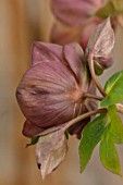 HERTFORDSHIRE HELLEBORES, LORNA JONES: HELLEBORUS HYBRIDUS TOFFEE, PERENNIALS, FLOWERS, FLOWERING, WINTER, SPRING, PETALS, BLOOMS, ANTHERS, LENTEN ROSE, BACK