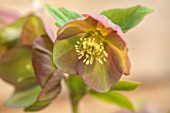 HERTFORDSHIRE HELLEBORES, LORNA JONES: HELLEBORUS HYBRIDUS TOFFEE, PERENNIALS, FLOWERS, FLOWERING, WINTER, SPRING, PETALS, BLOOMS, ANTHERS, LENTEN ROSE