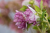 HERTFORDSHIRE HELLEBORES, LORNA JONES: HELLEBORUS HYBRIDUS WHITE, PINK SPOTTED, DOUBLE, PERENNIALS, FLOWERS, FLOWERING, WINTER, SPRING, PETALS, BLOOMS, ANTHERS, LENTEN ROSE
