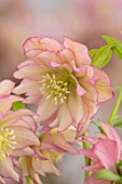 HERTFORDSHIRE HELLEBORES, LORNA JONES: HELLEBORUS HYBRIDUS DOUBLE APRICOT, PERENNIALS, FLOWERS, FLOWERING, WINTER, SPRING, PETALS, BLOOMS, ANTHERS, LENTEN ROSE