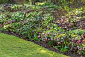 KAPUNDA PLANTS, BATH: LAWN WITH BORDER OF HELLEBORES. LENTEN, HELLEBORES, PERENNIALS, BORDERS, BEDS, FLOWERBEDS, GROUNDCOVER, MARCH, LATE WINTER, EARLY SPRING