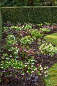 KAPUNDA PLANTS, BATH: LAWN WITH BORDER OF HELLEBORES. LENTEN, HELLEBORES, PERENNIALS, BORDERS, BEDS, FLOWERBEDS, GROUNDCOVER, MARCH, LATE WINTER, EARLY SPRING, YEW, HEDGE, HEDGING