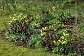 KAPUNDA PLANTS, BATH: LAWN, HELLEBORES. LENTEN, PERENNIALS, BORDERS, BEDS, FLOWERBEDS, GROUNDCOVER, MARCH, LATE WINTER, EARLY SPRING, EUPHORBIA MARTINII
