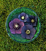 KAPUNDA PLANTS, BATH. GREEN MOROCCAN BOWL WITH HELLEBORES FLOATING ON WATER. MOSS, DARK, BLACK, PURPLE, FLOWERS, MARCH, FLOWERHEADS, LENTEN, SINGLES