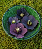 KAPUNDA PLANTS, BATH. GREEN MOROCCAN BOWL WITH HELLEBORES FLOATING ON WATER. MOSS, DARK, BLACK, PURPLE, FLOWERS, MARCH, FLOWERHEADS, LENTEN