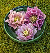 KAPUNDA PLANTS, BATH. GREEN MOROCCAN BOWL WITH PICOTEE HELLEBORES FLOATING ON WATER. MOSS, PINK, DOUBLE, WHITE, PEACH, FLOWERS, MARCH, FLOWERHEADS, LENTEN