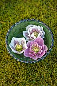 KAPUNDA PLANTS, BATH. GREEN MOROCCAN BOWL WITH HELLEBORES FLOATING ON WATER. MOSS, PINK, WHITE, CREAM, FLOWERS, MARCH, FLOWERHEADS, LENTEN, SINGLE, DOUBLE, SPECKLED, DOUBLE PINK
