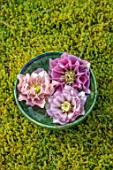 KAPUNDA PLANTS, BATH. GREEN MOROCCAN BOWL WITH HELLEBORES FLOATING ON WATER. MOSS, PINK, PEACH, FLOWERS, MARCH, FLOWERHEADS, LENTEN