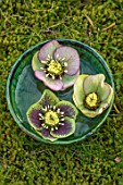 KAPUNDA PLANTS, BATH. GREEN MOROCCAN BOWL WITH GREEN HELLEBORES FLOATING ON WATER. MOSS, GREEN, PINK, FLOWERS, MARCH, FLOWERHEADS, LENTEN, SPECKLED, PICOTEE, ANEMONE CENTRED