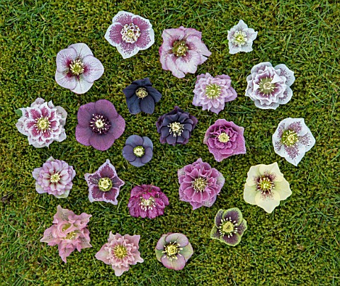 KAPUNDA_PLANTS_BATH_HELLEBORES_ON_MOSS_GREEN_PINK_BLACK_PURPLE_WHITE_PEACH_APRICOT_FLOWERS_MARCH_FLO