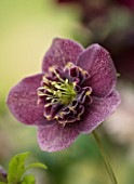 KAPUNDA PLANTS, BATH: HELLEBORE - HELLEBORUS X HYBRIDUS ANEMONE CENTRED WITH TWO TONE NECTARY, PERENNIALS, FLOWERS, PETALS, WINTER, EARLY, SPRING, HELLEBORES, LENTEN, MARCH