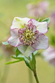 KAPUNDA PLANTS, BATH: HELLEBORE - HELLEBORUS X HYBRIDUS CREAM AND ROSE PINK ANEMONE CENTRED, PERENNIALS, FLOWERS, PETALS, WINTER, EARLY, SPRING, HELLEBORES, LENTEN, MARCH