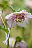 KAPUNDA PLANTS, BATH: HELLEBORE - HELLEBORUS X HYBRIDUS PALE ROSE, SPOTTED ANEMONE CENTRED, PERENNIALS, FLOWERS, PETALS, WINTER, EARLY, SPRING, HELLEBORES, LENTEN, MARCH