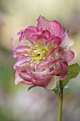 KAPUNDA PLANTS, BATH: HELLEBORE - HELLEBORUS X HYBRIDUS DOUBLE GREEN AND RASPBERRY PINK, PERENNIALS, FLOWERS, PETALS, WINTER, EARLY, SPRING, HELLEBORES, LENTEN, MARCH