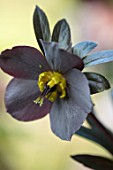 KAPUNDA PLANTS, BATH: HELLEBORE - HELLEBORUS X HYBRIDUS SINGLE DARK AUBERGINE, SLATE GREY, PERENNIALS, FLOWERS, PETALS, WINTER, EARLY, SPRING, HELLEBORES, LENTEN, MARCH