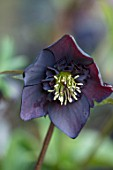KAPUNDA PLANTS, BATH: HELLEBORE - HELLEBORUS X HYBRIDUS DARK PLUM ANEMONE CENTRED, PERENNIALS, FLOWERS, PETALS, WINTER, EARLY, SPRING, HELLEBORES, LENTEN, MARCH