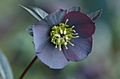 KAPUNDA PLANTS, BATH: HELLEBORE - HELLEBORUS X HYBRIDUS DARK SLATE SINGLE, PERENNIALS, FLOWERS, PETALS, WINTER, EARLY, SPRING, HELLEBORES, LENTEN, MARCH