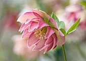 KAPUNDA PLANTS, BATH: HELLEBORE - HELLEBORUS X HYBRIDUS DOUBLE PEACH PICOTEE, PERENNIALS, FLOWERS, PETALS, WINTER, EARLY, SPRING, HELLEBORES, LENTEN, MARCH