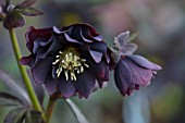 KAPUNDA PLANTS, BATH: HELLEBORE - HELLEBORUS X HYBRIDUS DOUBLE BLACK, AUBERGINE, PERENNIALS, FLOWERS, PETALS, WINTER, EARLY, SPRING, HELLEBORES, LENTEN, MARCH