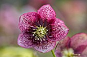KAPUNDA PLANTS, BATH: HELLEBORE - HELLEBORUS X HYBRIDUS RASPBERRY, SPOTTED, ANEMONE CENTRED, PERENNIALS, FLOWERS, PETALS, WINTER, EARLY, SPRING, HELLEBORES, LENTEN, MARCH