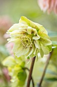 KAPUNDA PLANTS, BATH: HELLEBORE - HELLEBORUS X HYBRIDUS YELLOW, SPECKLED, DOUBLE, PERENNIALS, FLOWERS, PETALS, WINTER, EARLY, SPRING, HELLEBORES, LENTEN, MARCH
