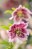 KAPUNDA PLANTS, BATH: HELLEBORE - HELLEBORUS X HYBRIDUS PINK SPECKLED, ANEMONE CENTRED, PERENNIALS, FLOWERS, PETALS, WINTER, EARLY, SPRING, HELLEBORES, LENTEN, MARCH