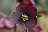 KAPUNDA PLANTS, BATH: HELLEBORE - HELLEBORUS X HYBRIDUS DARK PINK , RED, AUBERGINE, PERENNIALS, FLOWERS, PETALS, WINTER, EARLY, SPRING, HELLEBORES, LENTEN, MARCH