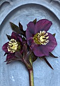 OLD COUNTRY FARM, WORCESTERSHIRE: CLOSE UP OF DARK PLUM, PURPLE, BLACK, HELLEBORE - HELLEBORUS X HYBRIDUS ON PEWTER PLATE. PERENNIAL, STILL LIFE, DARK