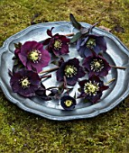 OLD COUNTRY FARM, WORCESTERSHIRE: CLOSE UP OF HELLEBORES - PLUM, DARK, BLACK HELLEBORUS X HYBRIDUS ON PEWTER PLATE. SLATE, PERENNIAL, STILL LIFE, DARK