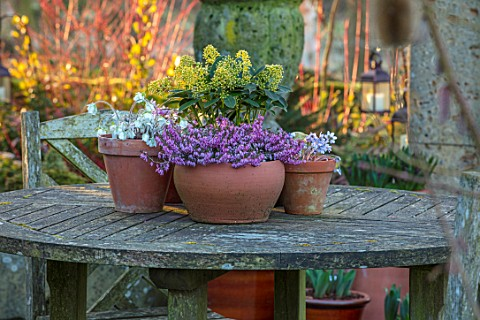 JOHN_MASSEY_GARDEN_ASHWOOD_NURSERIES_WORCESTERSHIRE_WOODEN_GARDEN_TABLE_CONTAINERS__SKIMMIA_JAPONICA