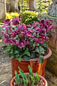 JOHN MASSEY GARDEN, ASHWOOD NURSERIES, WORCESTERSHIRE: CONTAINERS, TERRACE, POTS, HELLEBORES, HELLEBORUS RODNEY DAVEY MARBLED GROUP ANNAS RED, FLOWERING, FLOWERS, PERENNIALS