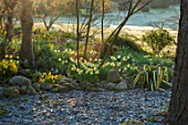 JOHN MASSEY GARDEN, ASHWOOD NURSERIES, WORCESTERSHIRE: SHADY BORDER, PHORMIUM, ROCKS, NARCISSUS SUNSHINE SUE, TOPOLINO, MARCH, GRAVEL, PATH, SPRING