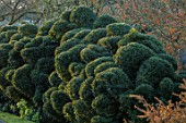 JOHN MASSEY GARDEN, ASHWOOD NURSERIES, WORCESTERSHIRE: CLOUD PRUNED HEDGE, HEDGING, HEDGES, SPRING, HOLLY, ILEX AQUIFOLIUM ALASKA, TOPIARY, CLIPPED
